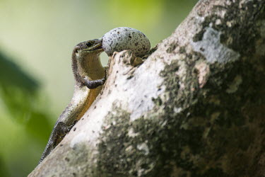 Wright's skink eating fairy tern egg balancing in pisonia tree Gygis alba,fairy tern,predation,skink,feeding,Pisonia grandis,egg,nest,nesting,incubation,reproduction,tree,Squamata,Africa,Animalia,Sub-tropical,Vulnerable,Trachylepis,Chordata,Tropical,Terrestrial,w