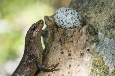 Wright's skink with fairy tern egg balancing in pisonia tree Gygis alba,fairy tern,predation,skink,feeding,Pisonia grandis,egg,nest,nesting,incubation,reproduction,tree,Squamata,Africa,Animalia,Sub-tropical,Vulnerable,Trachylepis,Chordata,Tropical,Terrestrial,w