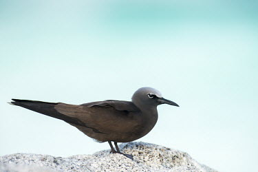 Brown noddy on granite boulder, side view seabird,noddy,Indian Ocean Islands,adult,coast,Ciconiiformes,Herons Ibises Storks and Vultures,Chordates,Chordata,Laridae,Gulls, Terns,Aves,Birds,North America,Flying,Africa,stolidus,Europe,Animalia,C