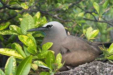 Brown noddy nesting in euphorbia on granite boulder Euphorbia pyrifolia,seabird,noddy,Indian Ocean Islands,adult,coast,group,shore,nesting,nest,reproduction,incubation,Ciconiiformes,Herons Ibises Storks and Vultures,Chordates,Chordata,Laridae,Gulls, Te