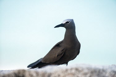 Brown noddy on granite boulder seabird,noddy,Indian Ocean Islands,adult,coast,Ciconiiformes,Herons Ibises Storks and Vultures,Chordates,Chordata,Laridae,Gulls, Terns,Aves,Birds,North America,Flying,Africa,stolidus,Europe,Animalia,C