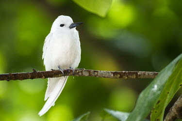 Fairy tern perched in pisonia tree, front view Pisonia grandis,tern,perched,tree,white