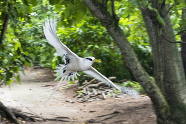 White-tailed tropicbird in flight flight,forest,wingspan,gliding,Indian Ocean Islands,action,flying,Chordates,Chordata,Ciconiiformes,Herons Ibises Storks and Vultures,Phaethontidae,Tropicbirds,Aves,Birds,South America,Animalia,Coastal