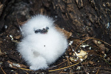 White-tailed tropicbird chick at base of tree chick,young,hatchling,nest,fluffy,white,reproduction,Indian Ocean Islands,Chordates,Chordata,Ciconiiformes,Herons Ibises Storks and Vultures,Phaethontidae,Tropicbirds,Aves,Birds,South America,Animalia