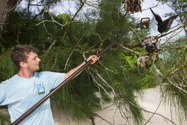 Conservation volunteer checking lesser noddy nests for eggs with mirror conservation,protection,science,research,monitoring,noddy,egg,nest,mirror,reserve,Shore,Charadriiformes,Anous,Ocean,Laridae,Coastal,Arboreal,Africa,IUCN Red List,Aquatic,Chordata,Flying,Australia,Terr