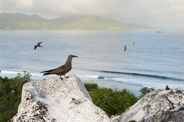 Brown noddy on granite boulder seabird,noddy,Indian Ocean Islands,adult,coast,cliff,boulders,landscape,Ciconiiformes,Herons Ibises Storks and Vultures,Chordates,Chordata,Laridae,Gulls, Terns,Aves,Birds,North America,Flying,Africa,s