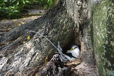 White-tailed tropicbird nesting at base of pisonia tree nesting,tree,hole,cavity,reproduction,nest,adult,Chordates,Chordata,Ciconiiformes,Herons Ibises Storks and Vultures,Phaethontidae,Tropicbirds,Aves,Birds,South America,Animalia,Coastal,Shore,Phaethon,F