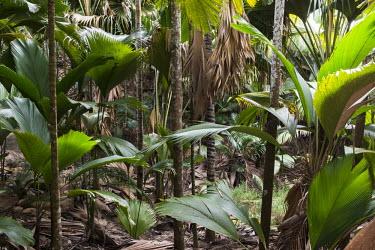 Thief palms (predominant in foreground) and Coco de Mer (Lodoicea maldivica) palms Lodoicea maldivica,thief palms,palms,tropical,trees,Phoenicophorium,Photosynthetic,Least Concern,borsigianum,Tropical,Africa,Plantae,Liliopsida,Arecales,Tracheophyta,Terrestrial,Palmae,IUCN Red List