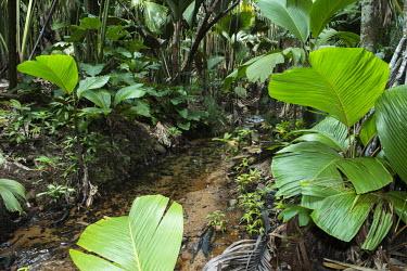 'Latannyen Lat' palms bordering stream palms,tropical,trees,stream,Lodoicea maldivica,Terrestrial,Verschaffeltia,Near Threatened,Photosynthetic,Tracheophyta,splendida,Plantae,Palmae,IUCN Red List,Liliopsida,Africa,Arecales