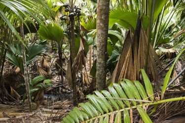'Millionaire's Salad' palm (top left and bottom right) and Coco de Mer palms palms,tropical,trees,stream,Lodoicea maldivica,Vulnerable,Indian,Deckenia,nobilis,Palmae,Arecales,Plantae,Rock,Liliopsida,Tracheophyta,Forest,Photosynthetic,IUCN Red List