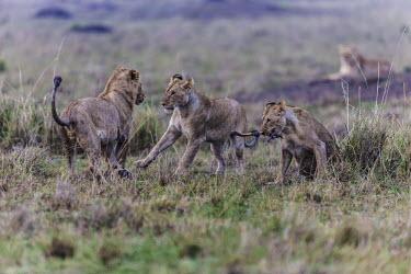Young lions playing before sunrise young,cubs,playing,Felidae,Cats,Mammalia,Mammals,Carnivores,Carnivora,Chordates,Chordata,leo,Animalia,Savannah,Africa,Scrub,Appendix II,Asia,Panthera,Vulnerable,Desert,Terrestrial,Carnivorous,IUCN Red