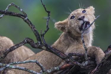 Lion cub playing with a branch cubs,young,playing,Felidae,Cats,Mammalia,Mammals,Carnivores,Carnivora,Chordates,Chordata,leo,Animalia,Savannah,Africa,Scrub,Appendix II,Asia,Panthera,Vulnerable,Desert,Terrestrial,Carnivorous,IUCN Red