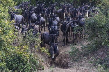 Blue wildebeest herd crossing Mara River Wildebeest,river,crossing,herd,Mammalia,Mammals,Even-toed Ungulates,Artiodactyla,Bovidae,Bison, Cattle, Sheep, Goats, Antelopes,Chordates,Chordata,Animalia,Cetartiodactyla,taurinus,Herbivorous,Desert,