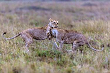 Lions playfully fighting playing,plaful,play fighting,Felidae,Cats,Mammalia,Mammals,Carnivores,Carnivora,Chordates,Chordata,leo,Animalia,Savannah,Africa,Scrub,Appendix II,Asia,Panthera,Vulnerable,Desert,Terrestrial,Carnivorou