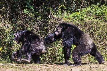 Alpha male chimpanzee bullying a smaller male. alpha male,apes,threatening,bullying,Hominids,Hominidae,Chordates,Chordata,Mammalia,Mammals,Primates,Endangered,Africa,Animalia,Tropical,Appendix I,Arboreal,Pan,Terrestrial,Omnivorous,troglodytes,IUCN