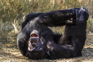 Chimpanzee viewing surroundings lying down and yawning. lying down,resting,yawning,apes,Hominids,Hominidae,Chordates,Chordata,Mammalia,Mammals,Primates,Endangered,Africa,Animalia,Tropical,Appendix I,Arboreal,Pan,Terrestrial,Omnivorous,troglodytes,IUCN Red