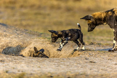 African wild dog playing with puppies playing,young,pupppies,pups,den,Carnivores,Carnivora,Mammalia,Mammals,Chordates,Chordata,Dog, Coyote, Wolf, Fox,Canidae,Savannah,Carnivorous,Terrestrial,Forest,pictus,Endangered,Semi-desert,Lycaon,Ani