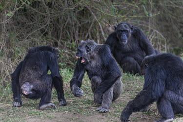 Alpha male chimpanzee in an agressive mood alpha male,displaying,agressive,ape,Hominids,Hominidae,Chordates,Chordata,Mammalia,Mammals,Primates,Endangered,Africa,Animalia,Tropical,Appendix I,Arboreal,Pan,Terrestrial,Omnivorous,troglodytes,IUCN