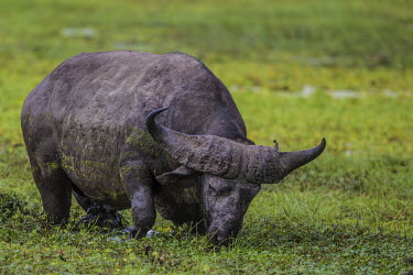 African buffalo feeding in the swamp feeding,swamp,Even-toed Ungulates,Artiodactyla,Chordates,Chordata,Bovidae,Bison, Cattle, Sheep, Goats, Antelopes,Mammalia,Mammals,Animalia,Terrestrial,caffer,Least Concern,Syncerus,Africa,Desert,Sub-t