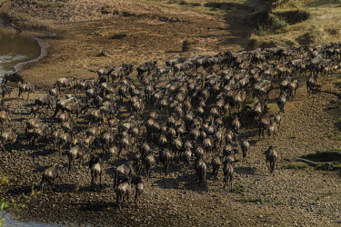 Wildebeest herd at the crossing herd,wide angle,group,Mammalia,Mammals,Even-toed Ungulates,Artiodactyla,Bovidae,Bison, Cattle, Sheep, Goats, Antelopes,Chordates,Chordata,Animalia,Cetartiodactyla,taurinus,Herbivorous,Desert,Least Con