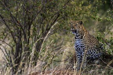 Leopard scanning the bush observing,scanning,sitting,big cats,Chordates,Chordata,Felidae,Cats,Mammalia,Mammals,Carnivores,Carnivora,Temperate,Savannah,Asia,Appendix I,Carnivorous,Panthera,Near Threatened,Africa,Terrestrial,Rai