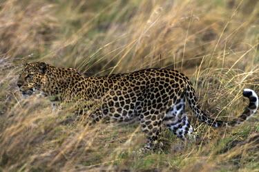 Leopard walking through tall grass, side view walking,grass,big cats,Chordates,Chordata,Felidae,Cats,Mammalia,Mammals,Carnivores,Carnivora,Temperate,Savannah,Asia,Appendix I,Carnivorous,Panthera,Near Threatened,Africa,Terrestrial,Rainforest,Anima