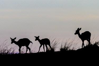 Group of impala on a hill group,silhouette,dark,Chordates,Chordata,Even-toed Ungulates,Artiodactyla,Bovidae,Bison, Cattle, Sheep, Goats, Antelopes,Mammalia,Mammals,Aepyceros,Animalia,Africa,Terrestrial,Vulnerable,Savannah,Ceta