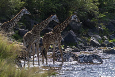 Burchell's zebra and Masai giraffes crossing the river zebra,Equus burchelli,Giraffe,Giraffa camelopardalis tippelskirchi,crossing,river,Giraffidae,Chordata,Terrestrial,Africa,Cetartiodactyla,Savannah,Herbivorous,Endangered,camelopardalis,Animalia,Giraffa