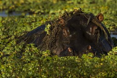 Hippopotamus in a pond pool,pond,underwater,Hippopotamidae,Hippopotamuses,Mammalia,Mammals,Even-toed Ungulates,Artiodactyla,Chordates,Chordata,Appendix II,Aquatic,Ponds and lakes,Omnivorous,Hippopotamus,Cetartiodactyla,Vuln