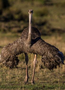 Female ostrich with wings outstretched, front view female,flightless bird,wings,Ostriches,Struthionidae,Aves,Birds,Struthioniformes,Chordates,Chordata,camelus,Animalia,Omnivorous,Savannah,Scrub,Struthio,Terrestrial,Desert,Semi-desert,Africa,Least Conc