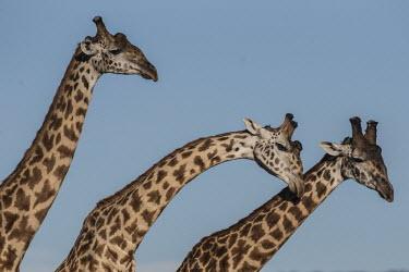 Masai giraffes sparring Giraffe,Giraffa camelopardalis,fighting,sparring,adults,Giraffidae,Chordata,Terrestrial,Africa,Cetartiodactyla,Savannah,Herbivorous,Endangered,camelopardalis,Animalia,Giraffa,Mammalia,Least Concern,IU