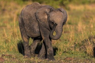 African elephant calf walking calf,young,walking,Elephants,Elephantidae,Chordates,Chordata,Elephants, Mammoths, Mastodons,Proboscidea,Mammalia,Mammals,Appendix I,Africa,Appendix II,Savannah,Herbivorous,Terrestrial,Animalia,Convent