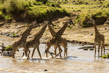 Burchell's zebras and masai giraffe crossing river zebra,Equus burchelli,Giraffe,Giraffa camelopardalis tippelskirchi,crossing,inter-specific,Least Concern,quagga,Streams and rivers,Mammalia,Perissodactyla,Ponds and lakes,Equidae,Equus,Africa,Terrestr