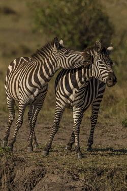 Male Burchell's zebra play fighting zebra,Equus burchelli,male,play fighting,Least Concern,quagga,Streams and rivers,Mammalia,Perissodactyla,Ponds and lakes,Equidae,Equus,Africa,Terrestrial,Savannah,Herbivorous,Temporary water,Chordata,