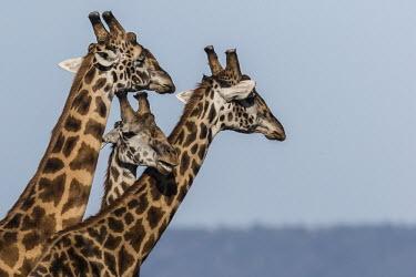 Giraffes 'necking' Giraffe,Giraffa camelopardalis tippelskirchi,necking,Giraffidae,Chordata,Terrestrial,Africa,Cetartiodactyla,Savannah,Herbivorous,Endangered,camelopardalis,Animalia,Giraffa,Mammalia,Least Concern,IUCN