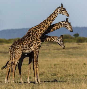 Three masai giraffes Giraffe,Giraffa camelopardalis tippelskirchi,group,three,Giraffidae,Chordata,Terrestrial,Africa,Cetartiodactyla,Savannah,Herbivorous,Endangered,camelopardalis,Animalia,Giraffa,Mammalia,Least Concern,I