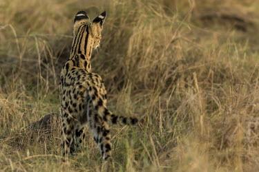 Serval cat listening for prey noise, rear view hunting,predator,prey,grass,Felidae,Cats,Mammalia,Mammals,Carnivores,Carnivora,Chordates,Chordata,Leptailurus,Least Concern,Africa,Savannah,Carnivorous,Animalia,serval,Terrestrial,Appendix II,IUCN Red