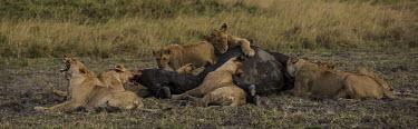 Lion pride feeding on cape buffalo cape buffalo,group,feeding,hunt,predator,prey,carcass,Felidae,Cats,Mammalia,Mammals,Carnivores,Carnivora,Chordates,Chordata,leo,Animalia,Savannah,Africa,Scrub,Appendix II,Asia,Panthera,Vulnerable,Dese