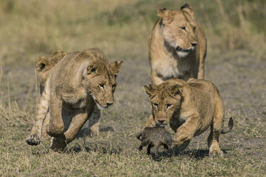 Lions chasing a mongoose Banded Mongoose,Mungos mungo,hunting,learning,juveniles,young,Felidae,Cats,Mammalia,Mammals,Carnivores,Carnivora,Chordates,Chordata,leo,Animalia,Savannah,Africa,Scrub,Appendix II,Asia,Panthera,Vulnera