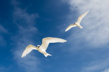 Fairy terns in flight pair,tern,Indian Ocean Islands,portrait,seabirds,cut out,blue,gliding,sky,ventral view,flying,flight,Ciconiiformes,Herons Ibises Storks and Vultures,Laridae,Gulls, Terns,Aves,Birds,Chordates,Chordata,