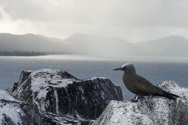 Brown noddy resting on granite boulder Indian Ocean Islands,seabird,landscape,ocean,portrait,Ciconiiformes,Herons Ibises Storks and Vultures,Chordates,Chordata,Laridae,Gulls, Terns,Aves,Birds,North America,Flying,Africa,stolidus,Europe,Ani