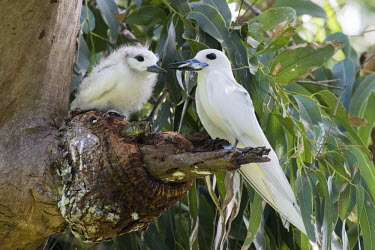 Fairy tern with fish for chick tern,Indian Ocean Islands,young,chick,nest,feeding,parent,fish,food,Ciconiiformes,Herons Ibises Storks and Vultures,Laridae,Gulls, Terns,Aves,Birds,Chordates,Chordata,Asia,Animalia,Lower Risk,Shore,Fl