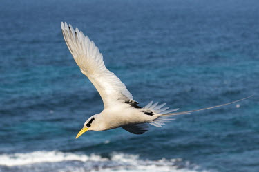 White-tailed tropicbird in flight tropicbirds,Indian Ocean Islands,flight,flying,cut out,sky,flapping,Chordates,Chordata,Ciconiiformes,Herons Ibises Storks and Vultures,Phaethontidae,Tropicbirds,Aves,Birds,South America,Animalia,Coast