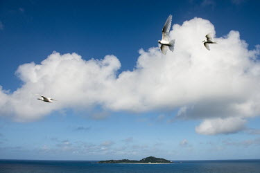 Fairy terns in flight over Cousine Island tern,Indian Ocean Islands,portraits,seabirds,cut out,blue,gliding,sky,group,Ciconiiformes,Herons Ibises Storks and Vultures,Laridae,Gulls, Terns,Aves,Birds,Chordates,Chordata,Asia,Animalia,Lower Risk,
