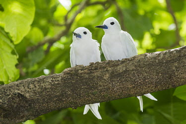 Fairy terns perched on tree Pisonia grandis,tree,perched,front view,pair,tern,Ciconiiformes,Herons Ibises Storks and Vultures,Laridae,Gulls, Terns,Aves,Birds,Chordates,Chordata,Asia,Animalia,Lower Risk,Shore,Flying,Australia,Pac