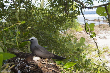 Lesser noddy on nest with egg in grey mangrove tree grey mangrove,white mangrove,Avicennia marina,mangrove,nest,nesting,incubation,Indian Ocean Islands,egg,reproduction,Shore,Charadriiformes,Anous,Ocean,Laridae,Coastal,Arboreal,Africa,IUCN Red List,Aqu