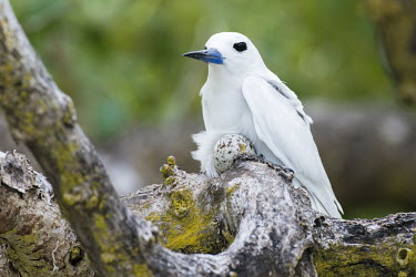 Fairy tern on nest with egg in grey mangrove tree grey mangrove,white mangrove,Avicennia marina,mangrove,nest,nesting,incubation,Indian Ocean Islands,egg,reproduction,Ciconiiformes,Herons Ibises Storks and Vultures,Laridae,Gulls, Terns,Aves,Birds,Cho