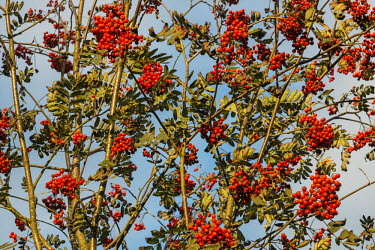 Rowan/mountain ash berries in autumn Magnoliophyta,Flowering Plants,Rosales,Magnoliopsida,Dicots,Rose Family,Rosaceae,Sorbus,Tracheophyta,Forest,Common,Photosynthetic,Africa,Europe,Plantae,Asia,Least Concern