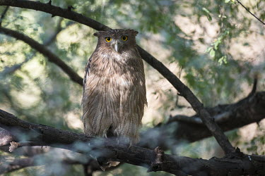 Brown fish-owl perched in tree bird of prey,brown fish owl,brown fishing owl,national park,protected area,reserve,true owl,Chordates,Chordata,True Owls,Strigidae,Aves,Birds,Owls,Strigiformes,CITES,Ketupa,Forest,Appendix II,Temperat