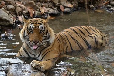 Male Bengal tiger cooling off in water Adult Male,How does it live ?,Adult,Carnivora,Panthera,Tropical,Mammalia,Appendix I,tigris,Felidae,Carnivorous,Extinct,Chordata,Asia,Temperate,Animalia,Critically Endangered,Endangered,Terrestrial,IUC